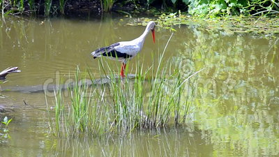 Ciconia européen de cigogne blanche chassant les poissons dans la rivière, diversité de nature, banque de vidéos