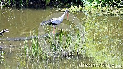 Ciconia europeu da cegonha branca que caça os peixes no rio, diversidade da natureza, filme