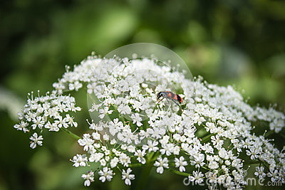 Cicuta virosa (Cowbane or Northern Water Hemlock