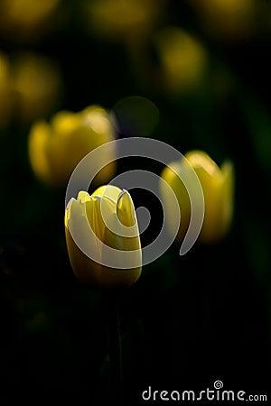 Ciemny tulipan