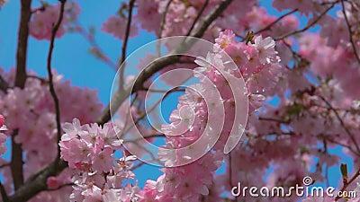 Cierre de un cerezo florido en un día soleado con un cielo azul metrajes
