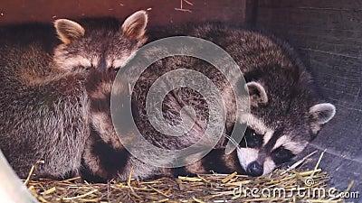 Cierre de una pareja común de mapaches que se reúne Especie tropical animal de América metrajes