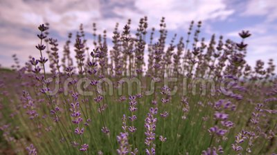 Cierre floreciente de la flor de la lavanda para arriba en un campo en Provence Francia contra un fondo del cielo azul y de las n metrajes