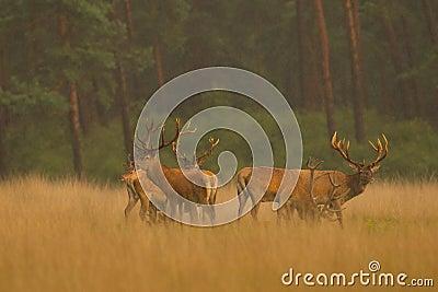 Ciervos rojos en luz de oro