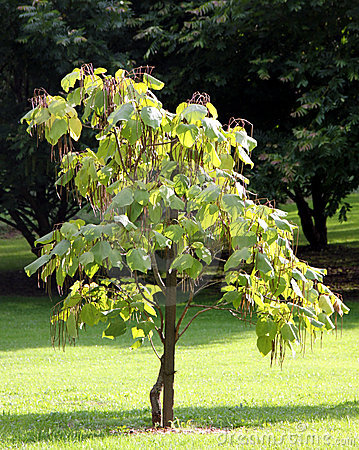 Free Cigar Tree - Catalpa Stock Image - 16039641