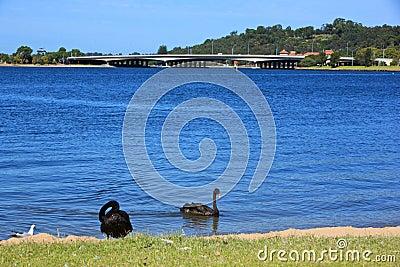 ... cigni neri romantici riposano dal lago nero swan, Perth, Australia