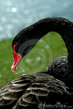 Cigno nero