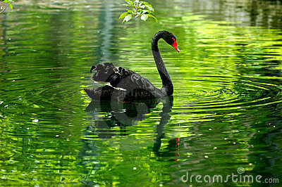 Cigno nero nello stagno fotografie stock libere da diritti for Animali da stagno