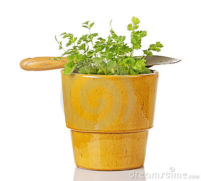 Cilantro In Ceramic Pot With Trowel