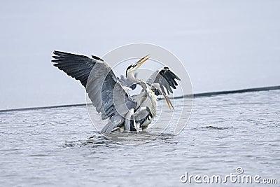 Cinerea grå heron för ardea