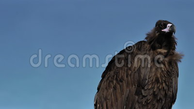 Cinereous Vulture with blue sky. stock video footage