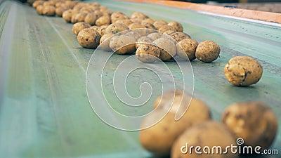 Cinghia del trasportatore con abbondanza delle patate che si muovono lungo  Raccolta del concetto archivi video