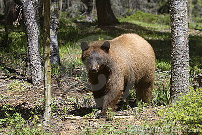 Cinnamon Colored American Black Bear