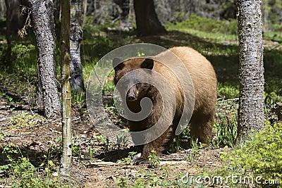 Cinnamon Colored American Black Bear