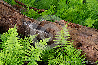 Cinnamon Ferns and Log