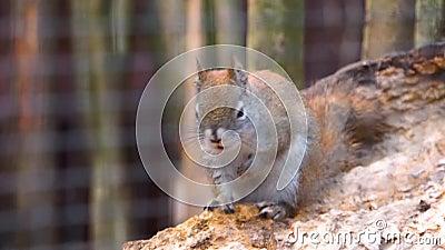 Cinta de una ardilla roja americana, popular especie de roedor tropical de América almacen de metraje de vídeo
