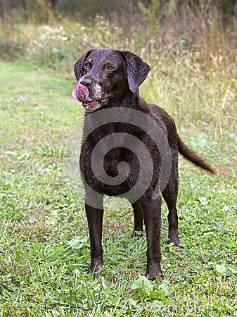 Cioccolato labrador retriever