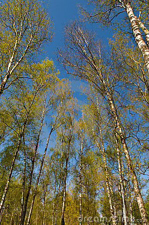 Circle of spring birches