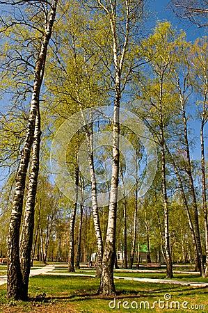 Circle of spring birches