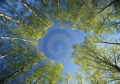 Circle of spring birches crowns