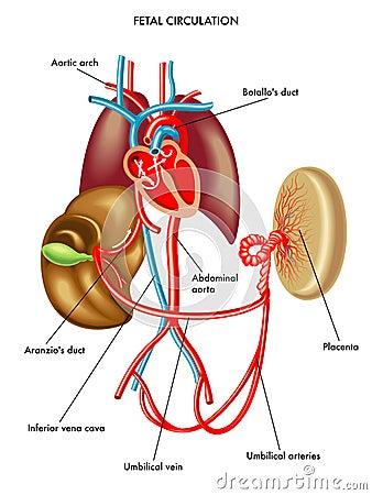 Circolazione fetale