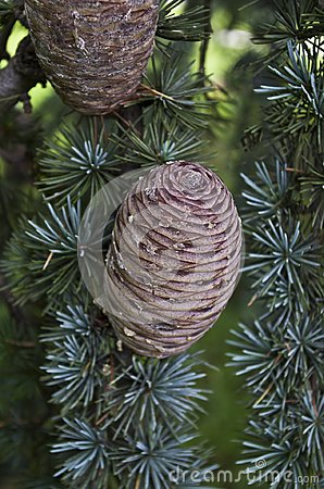 Free Circular Pine Cone Stock Photos - 118874283