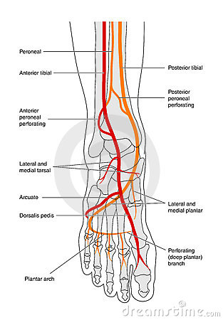Circulation of the foot - labelled