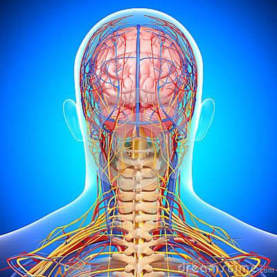 Circulatory and nervous system of brain