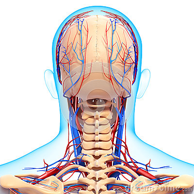 Of back view circulatory and nervous system of head and brain