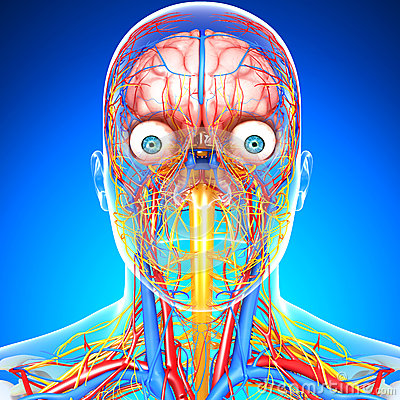 Circulatory and nervous system of head