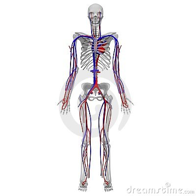 Circulatory and skeleton