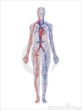 Free Circulatory System Stock Photos - 11305013