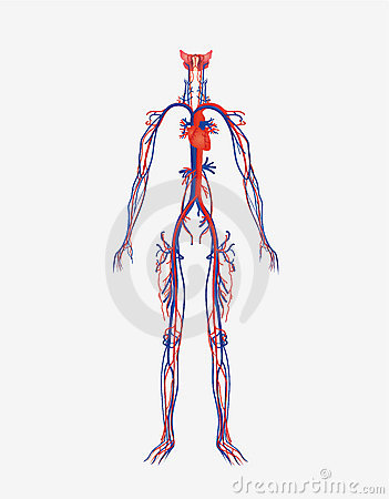 Circulatory System Royalty Free Stock Image Image 19281506