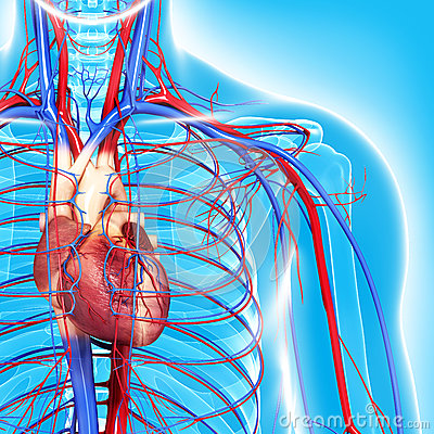 Circulatory system of half body highlights heart
