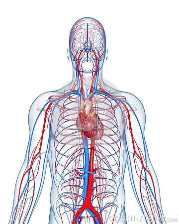 Circulatory system highlights heart
