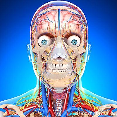 Circulatory system of human head
