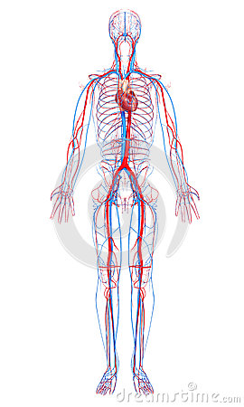 Circulatory system of male body