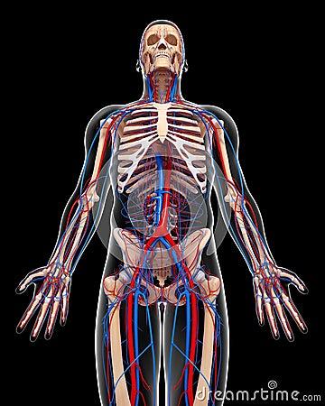 Circulatory system of male body in black