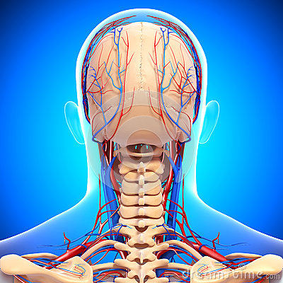 Circulatory system of male head