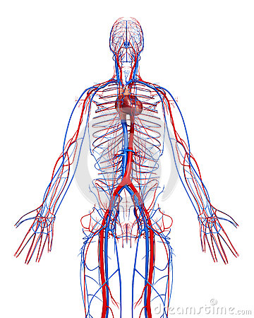 Circulatory system of male with heart