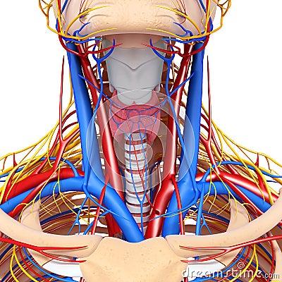 Circulatory system of throat
