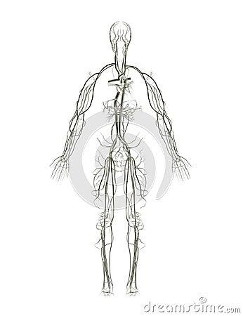 Circulatory System X-ray