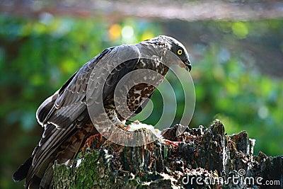 Circus aeruginosus - falcon