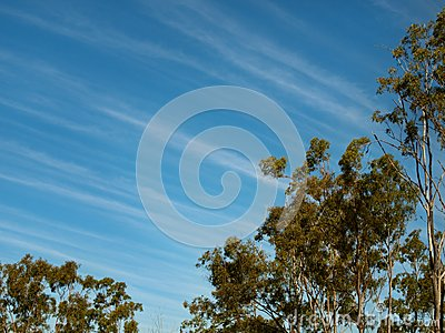 Cirrus clouds blue winter sky gum trees