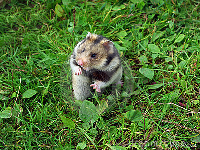 Ciscaucasian hamster httpsthumbsdreamstimecomxciscaucasianhamst
