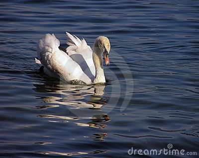 Cisne blanco #2