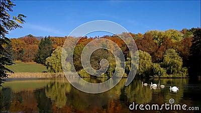 Cisnes en un lago almacen de video