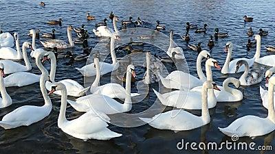 Cisnes na lagoa video estoque