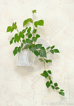 Cissus rhombifolia in pot on wall