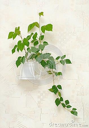 Cissus rhombifolia in pot on wall